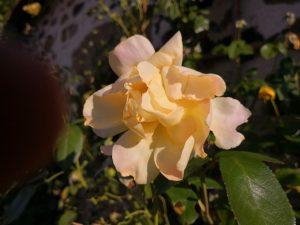 Roses at Le Foursou