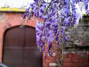 Wisteria Collonges-la-Rouge